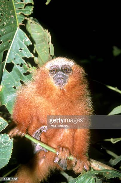 masked titi monkey