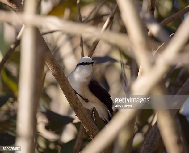 a masked water tyrant, fluvicola nengeta, on a bush at sunset in ibirapuera park, brazil. - alex saberi imagens e fotografias de stock
