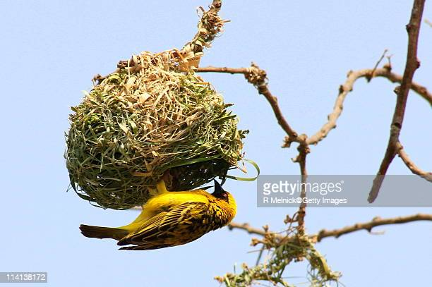 masked weaver bird - animal nest stock pictures, royalty-free photos & images