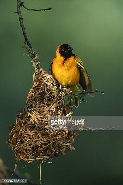 masked weaver (ploceus intermedius) in it's nest, close up, masai mara, kenya - birds nest stock photos and pictures
