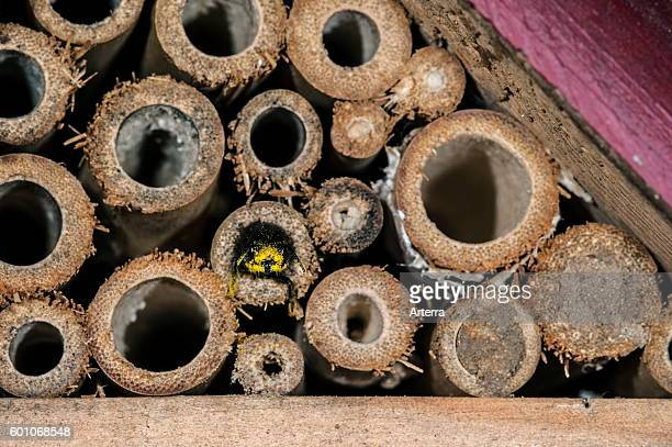 Mason bee / builder bee Osmia cornuta laden with pollen and nectar entering backwards in nest in hollow stem at insect hotel for solitary bees