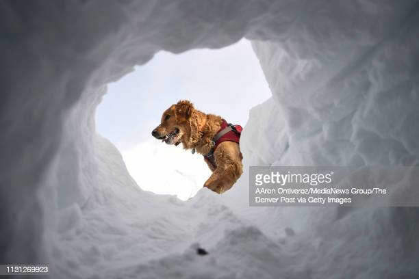 Mason looks for mock victims during avalanche training at Copper Mountain on Wednesday February 20 2019 Mason is a fouryearold avalanche rescue dog...