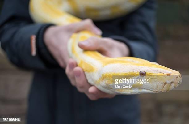 Mason Pugh from Reptile Zone in Bristol handles an albino Burmese Python at Noah's Ark Zoo Farm on August 2 2016 in Bristol England Noah's Ark Zoo...