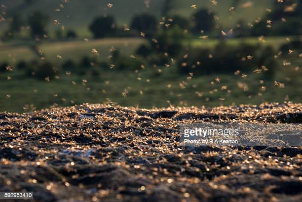 Mass of flying ants on rocks at dusk