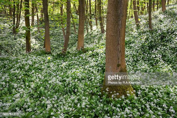mass of wild garlic in an english woodland - ail des ours photos et images de collection