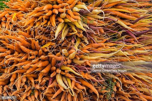 USA, Massachusetts, Boston, Large bunch of orange, yellow and purple carrots