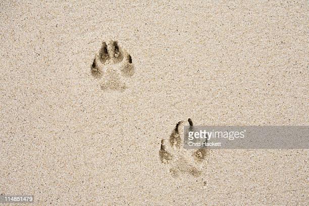USA, Massachusetts, dog's track on sand