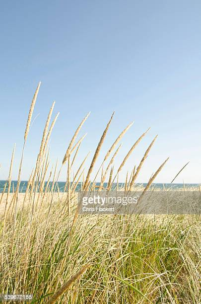 USA, Massachusetts, Nantucket, Close-up shot of stems of marram grass with sandy beach in background