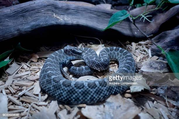 A massasauga rattlesnake lays in its enclosure on December 23 2017 in the Phoenix zoo in Phoenix Arizona The massasauga used to be a fairly common...