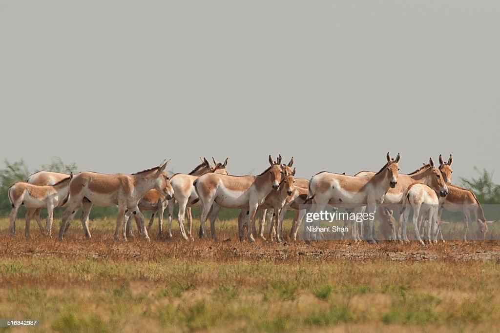 Masses of asses : Stock Photo