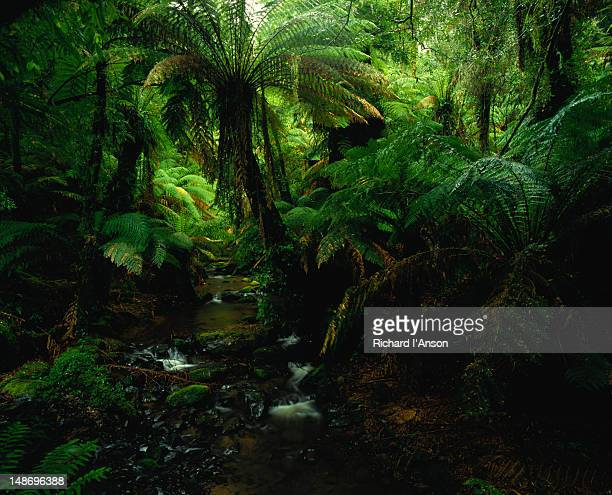 Masses of fern trees, mountain ash, sassafras, Christmas-bush, myrtle beech and mulberry trees along the Tarra River - Tarra Bulga National Park - Gippsland, Victoria