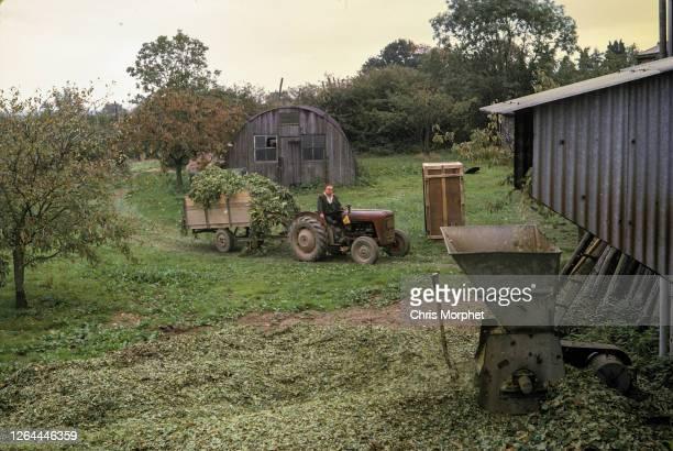 Massey Ferguson 35 tractor approaches the hop shredding machine on a farm near Cranbrook in Kent, United Kingdom, September 1970.