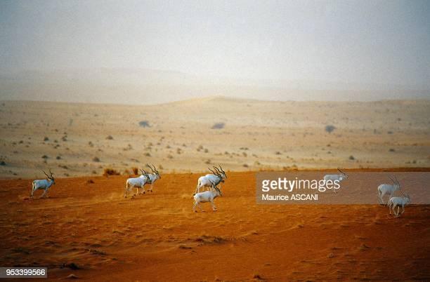 Massif de Termit Niger Addax L'addax est la derniere plus grande antilope saharienne sauvage encore vivante dans les endroits les plus inaccessibles...