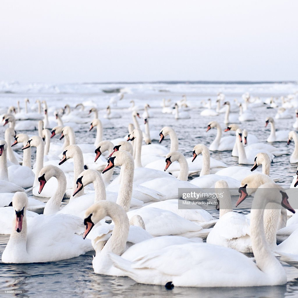 Lot of swans looking for food on bay very cold winter.