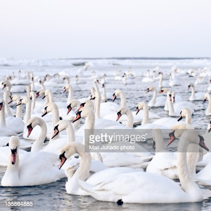 Massive amount of swans in winter