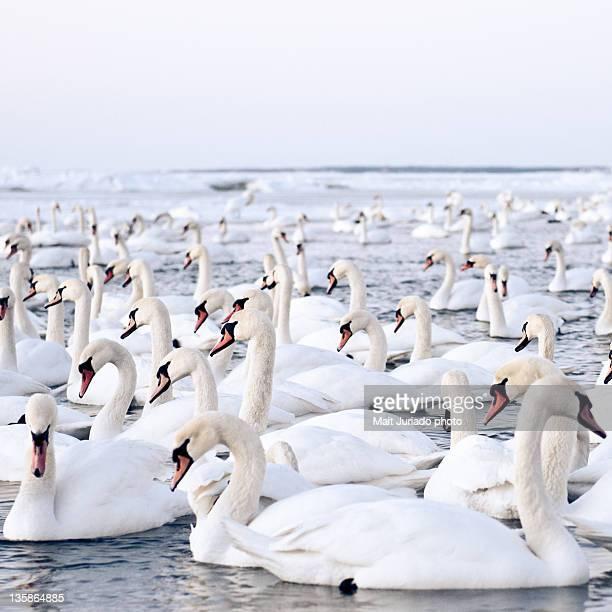 Massive amount of swans in winter
