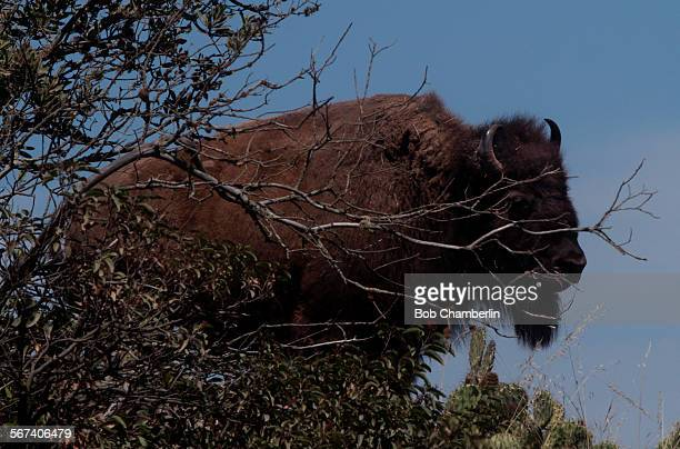 Massive bison pauses near dried up branch reaching out like fingers as the herd moves along near the airport on Catalina Island on MAY 29 2014 The...