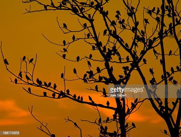a massive group of starlings rest in a tree at sunrise. - alex saberi stock-fotos und bilder