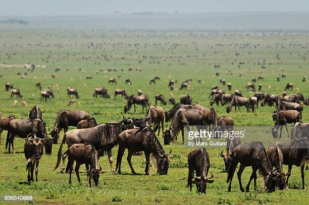 A massive herd of blue wildebeests (Connochaetes taurinus), Serengeti National Park, Tanzania