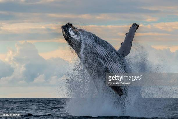 massive humpback whale breach off the east coast of south africa during the annual migration of whales north during the winter months. - wal stock-fotos und bilder