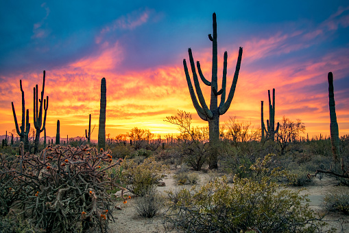 Massive Saguaros in Sonoran Desert at Sunset 1128800409