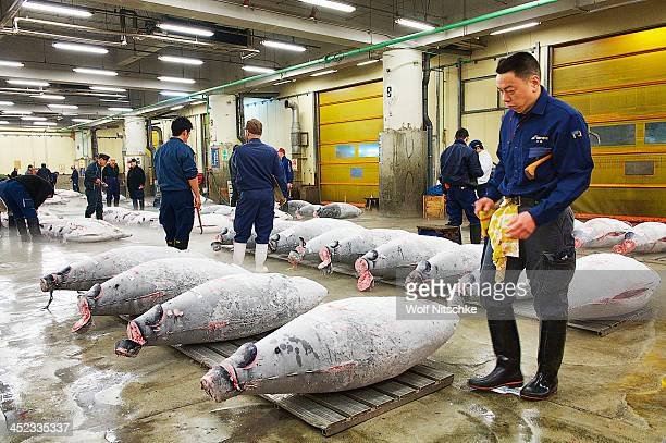 CONTENT] Massive Tuna at the Tsukiji Fish Market auction in Tokyo at around 5 am Each one weighs approx 200 kg 300 kg or 440 lb to 660 lb
