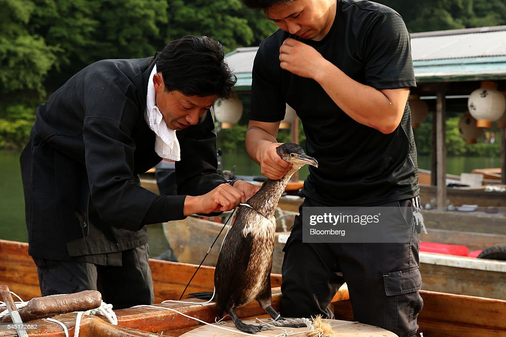 First Day Of The Traditional Cormorant Fishing Season : News Photo