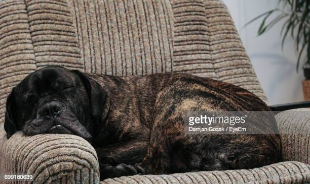 Mastiff Sleeping On Couch At Home