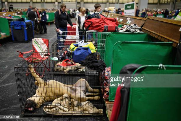 Mastiff stretches out as it sleeps in it's cage at the Crufts dog show at the NEC Arena on March 8 2018 in Birmingham England The annual fourday...