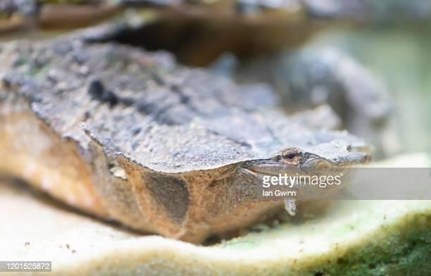 mata mata turtle - ian gwinn fotografías e imágenes de stock