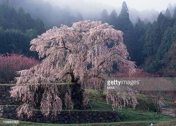 Matabei Cherry, Uda, Nara, Japan