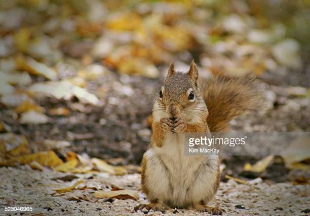 matching with the fall colors - american red squirrel stock photos and pictures