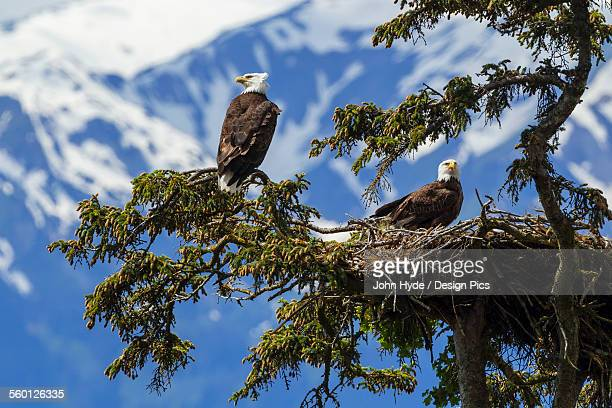 a mated pair of bald eagles (haliaeetus leucocephalus) watch over their newly hatched young in their nest in se alaskas tongass national forest near juneau, inside passage - eagle nest stock photos and pictures
