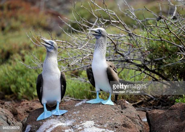 Mated Pair of Blue-footed Boobies