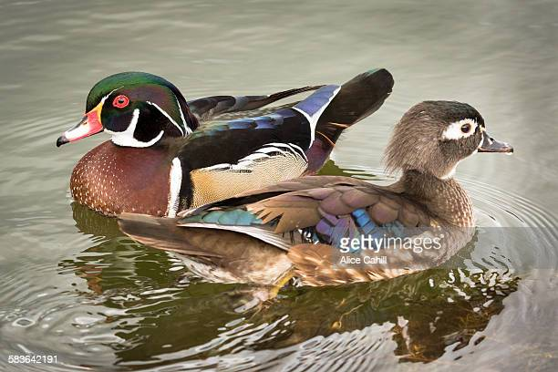 Mated pair of wood ducks on water