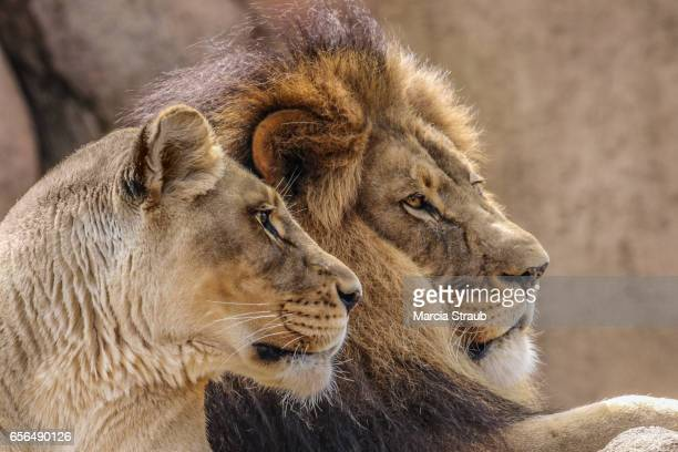 Mates, A Pair of Lions