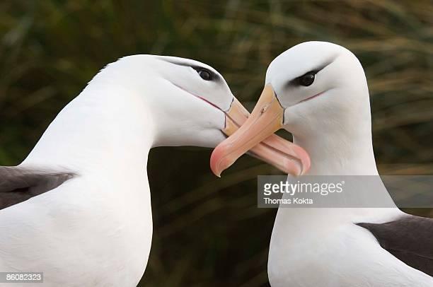 Mating albatrosses