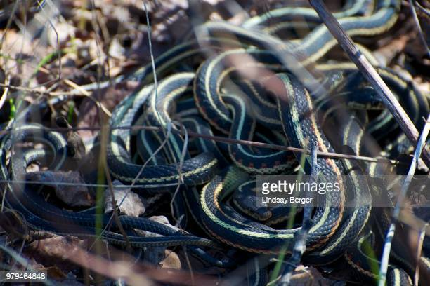 mating ball 1 - garter snake stock pictures, royalty-free photos & images