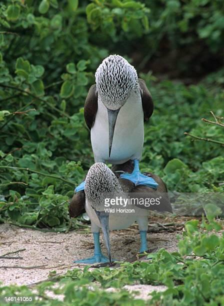 Mating bluefooted booby birds Sula nebouxii Isla Lobos Galapagos Archipelago Ecuador