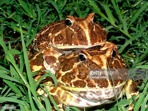 Mating Chacoan horned frog (Ceratophrys cranwelli) Gran Chaco, Paraguay