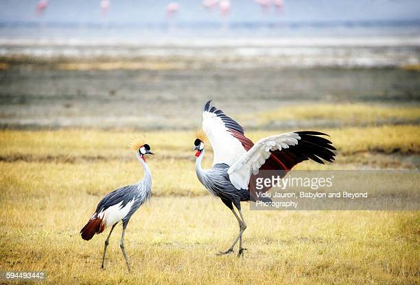 Mating Display - Two Gray Crowned Cranes with Flamingos in the Background