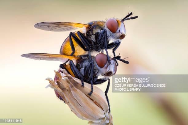 mating gymnosoma flies - tierpaarung stock-fotos und bilder