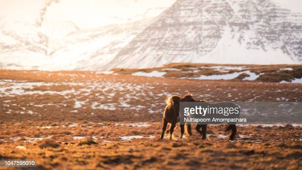 mating icelandic horses with mountainous landscape - accouplement cheval photos et images de collection