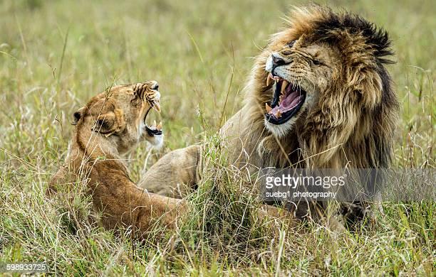 Mating Lions masai mara