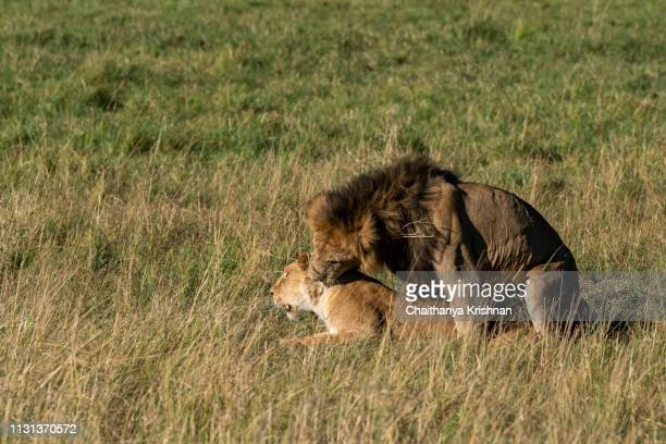 mating lions relaxing among the high grasses inside masai mara national park during a wildlife safari - sex stock photos and pictures
