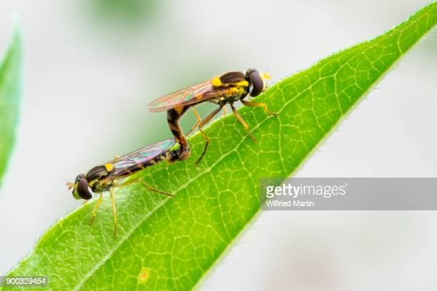 mating, long hoverfly (sphaerophoria scripta), hesse, germany - begattung kopulation paarung stock-fotos und bilder
