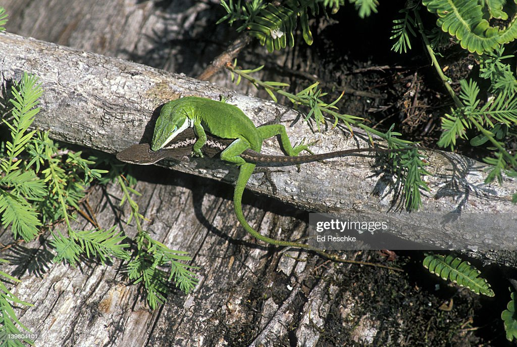 Mating male (green) and female (brown) Green Anoles, Anolis carolinensis. South Carolina, USA : Stock Photo