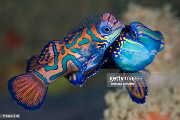 Mating Mandarinfish, Indonesia