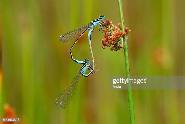 Mating of dragonfly, Ischnura elegans