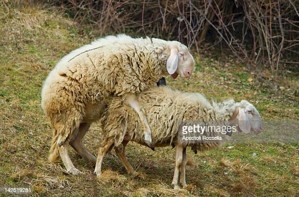 Mating of sheep